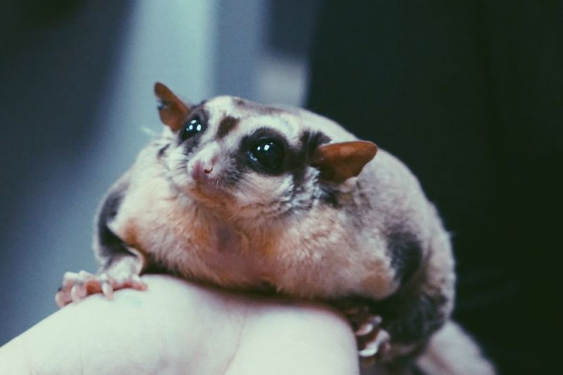 Close-up of hand holding sugar glider