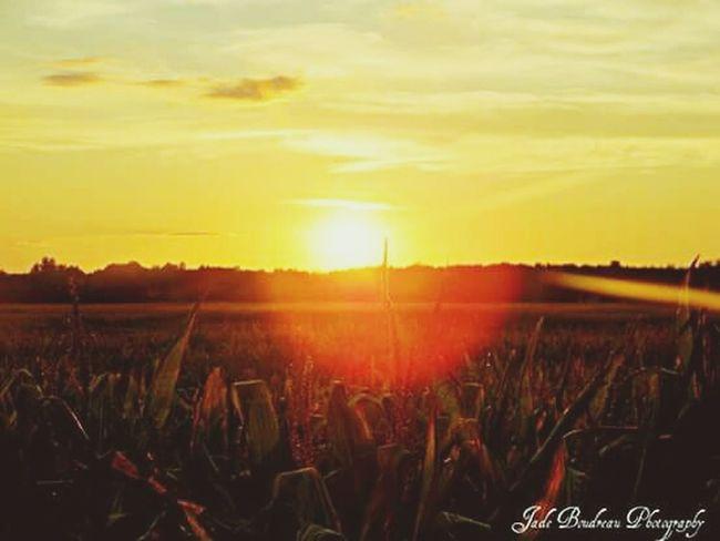 Corn field sunset Farm Life