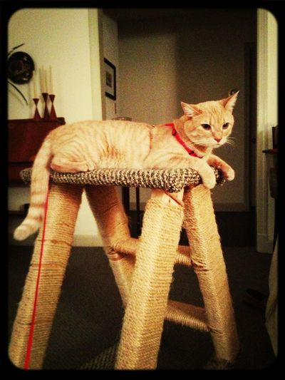 Kitten On Leash