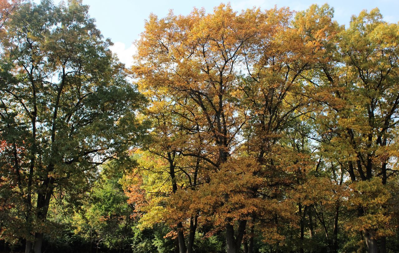 autumn, tree, change, nature, beauty in nature, leaf, growth, branch, tranquility, low angle view, no people, outdoors, day, forest, scenics, sky