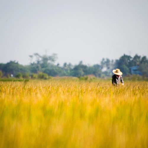 Landscape Mobilephotography Nature Daily Life Fields Thailand Siam Siamese People