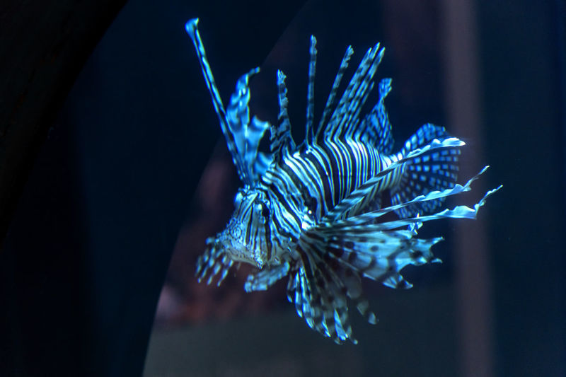 Close-up of blue fish in aquarium