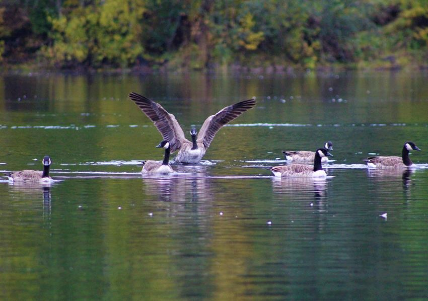 Stretching out Freespirit Canon Canonphotography Canon EOS 1300D Canadian Geese River Sweden Landscape Swedish Nature September 2017 Water Nature Swimming Outdoors No People Flying Animal Themes Beauty In Nature