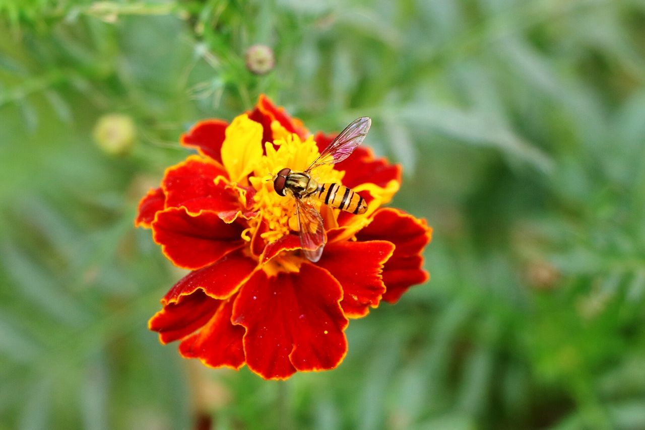 flower, one animal, animal themes, insect, nature, animals in the wild, petal, red, beauty in nature, fragility, plant, growth, no people, day, outdoors, focus on foreground, flower head, freshness, close-up, animal wildlife, pollination, zinnia