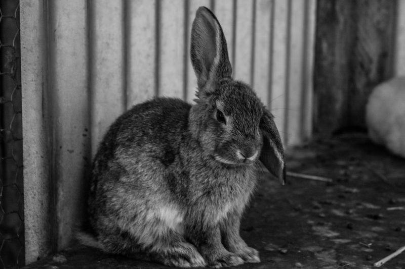 Bunny Animal Animal Themes Animals Black & White Black And White Blackandwhite Blackandwhite Photography Bunny  Corrugated Iron Ears Eyes Farm Farm Life Floppy Focus Focus On Foreground Fur Rabbit Rabbits Textures And Surfaces Wood Wooden Wooden Texture