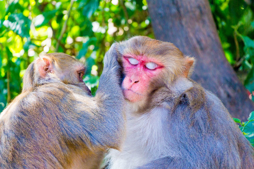 Rhesus Macaque Animal Family Animal Themes Animal Wildlife Animals In The Wild Care Day Focus On Foreground Grooming Group Of Animals Mammal Monkey Nature Primate Relaxed Togetherness Two Animals Vertebrate Young Animal