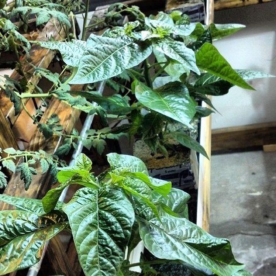 Habaneros. Surelygrow Hydroponics Hydroculture Plants gardening instagarden instagrow peppers hot nft rockwool