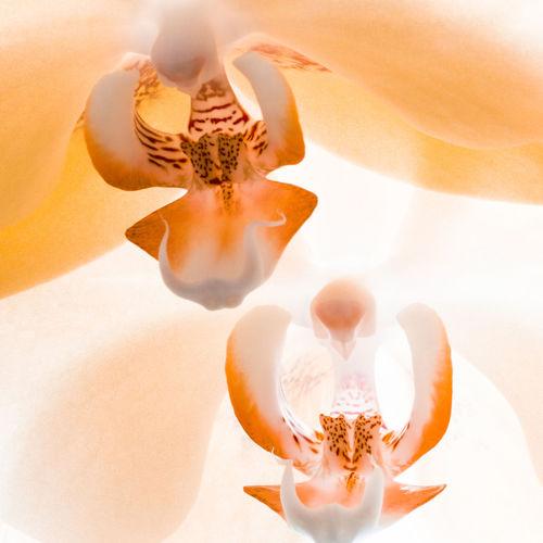 Orchid AsparagalesOrder Blooming Close-up Cropped Eukaryoter Flower Flower Head Growth In Bloom Leaf Liliopsida Macro Nature Orange Orchid Orchidaceae Part Of Petal Phalaenopsis Plant Plantae Pollen Stamens Tracheophyta