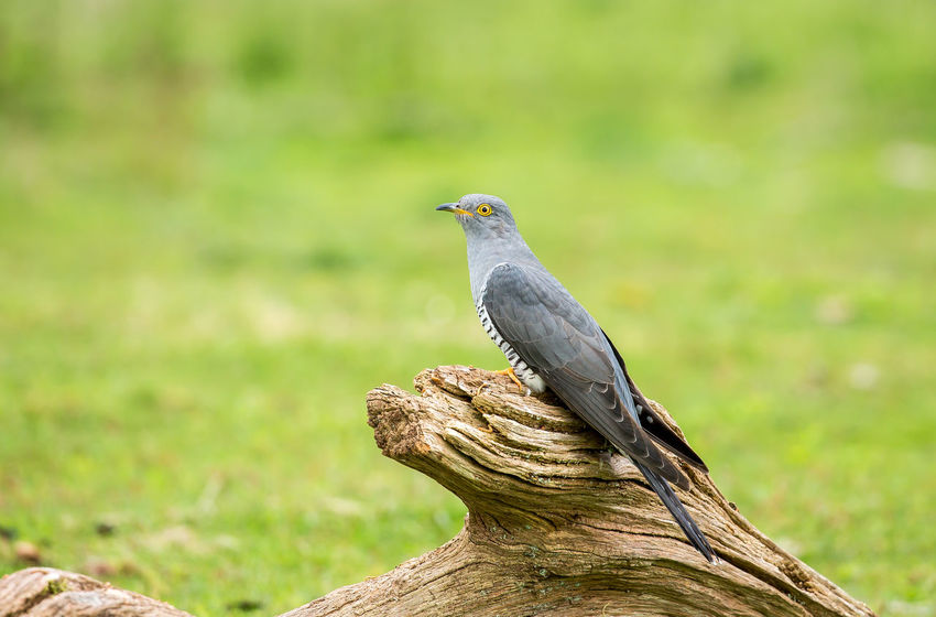 The common cuckoo is a member of the cuckoo order of birds, Cuculiformes, which includes the roadrunners, the anis and the coucals. This species is a widespread summer migrant to Europe and Asia, and winters in Africa. Common Cuckoo Cuculus Canorus European  United Kingdom Wildlife & Nature Animal Animal Themes Animal Wildlife Animals In The Wild Bird Brood Parasite Cuckoo Eurasian Europe Grey Migratory Nature No People One Animal Outdoors Photography Wild Wildlife