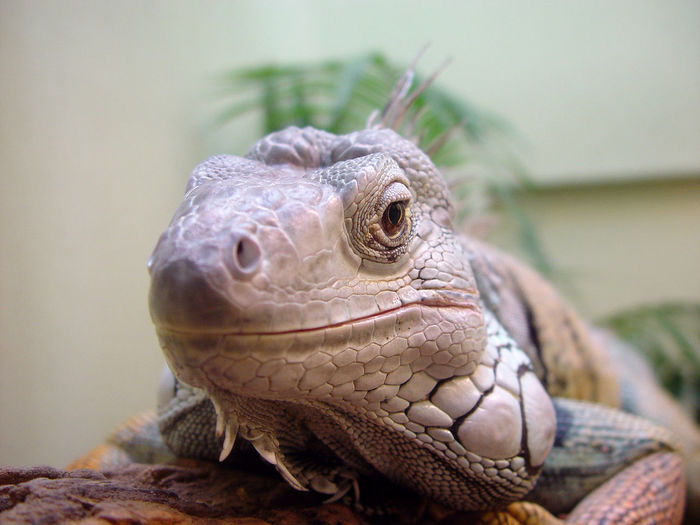 Animal Animals Close-up Iguana Lizard Reptile Wild Zoo Zoology
