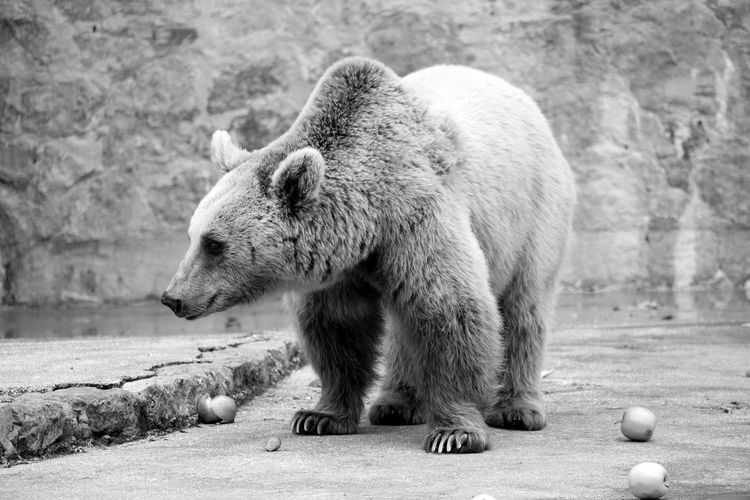 Grizzly bear in zoo against wall