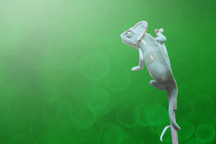 Close-up of lizard on stick against green background