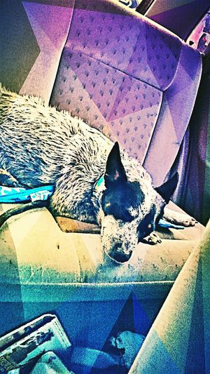 Heading home after a day at the park and the spa. Love her <3 Dogstagram Dogdays Doglover💙 Blueheeler Australiancattledog My Baby Girl <3