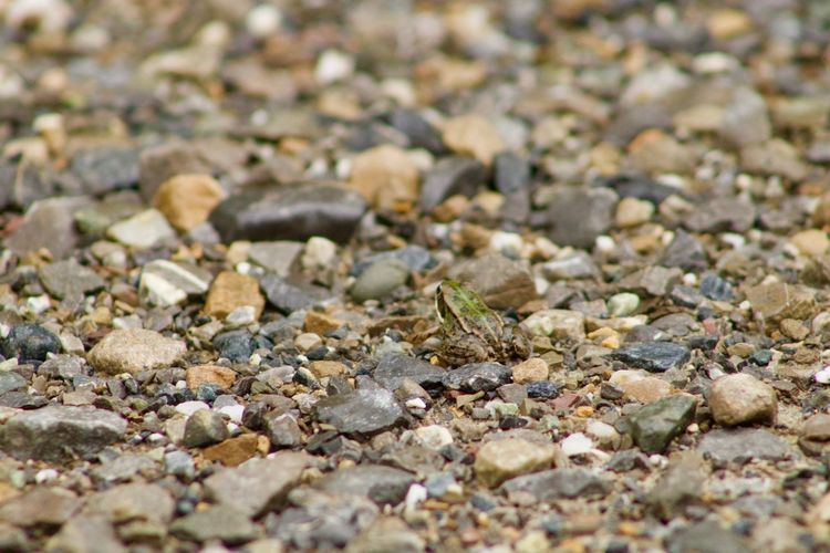 Baby frog Babyfrog Frog Full Frame Selective Focus Backgrounds No People Abundance Large Group Of Objects Land Day Beach Nature Stone Sand High Angle View Close-up Outdoors Stone - Object Sunlight Beauty In Nature
