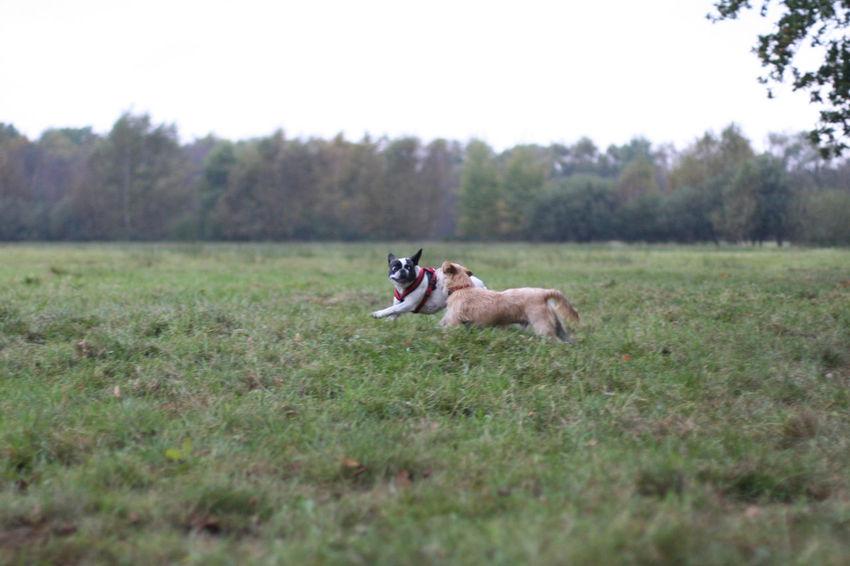 Bully Dog Dog In Action Dogs Draußen Flying Dog Französische Bulldogge  French Bulldog Frenchbulldog Frenchie Hund Hund In Aktion Hunde Outdoors Playing Dogs Spielende Hunde
