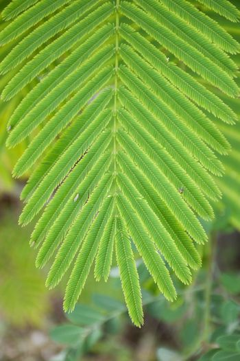 Acacia Acacia Insuavis Acacia Pennata Acacia Pennata L. Agriculture Cha-om Climbing Wattle Herb Beauty In Nature Branch Close-up Day Evergreen Fragility Freshness Green Color Growth Healthy Herbal Leaf Limb Nature No People Organic Outdoors Plant Senegalia Pennata Vegetable