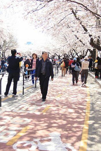 겨울은 가고 봄은 온다*.* The Winter Is Gone Waiting For Spring Cherry Blossoms