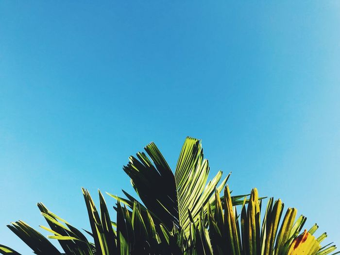 Sky Low Angle View Clear Sky Leaf Plant Palm Tree Palm Leaf Growth Copy Space Nature Blue Plant Part Day No People Tropical Climate Green Color Tree Beauty In Nature Outdoors Sunlight Tropical Tree