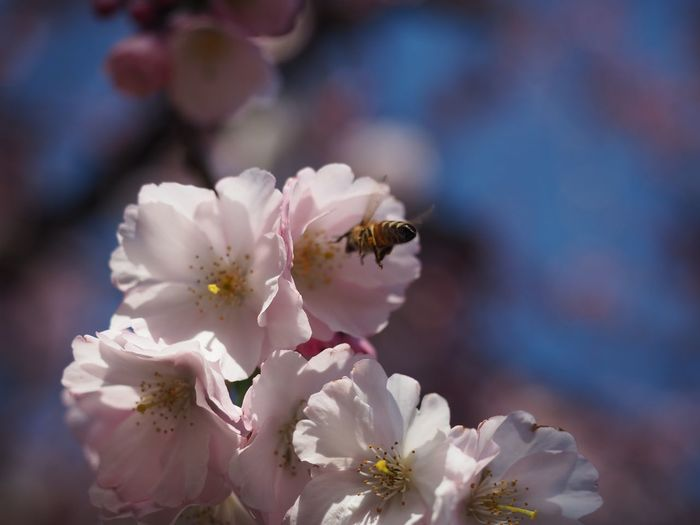 Bees Blossom EyeEm Selects Flower Flowering Plant Beauty In Nature Fragility Freshness Petal Plant Growth Vulnerability  Animals In The Wild Close-up Flower Head Animal Wildlife Animal Themes Animal Insect Pollen Focus On Foreground One Animal White Color