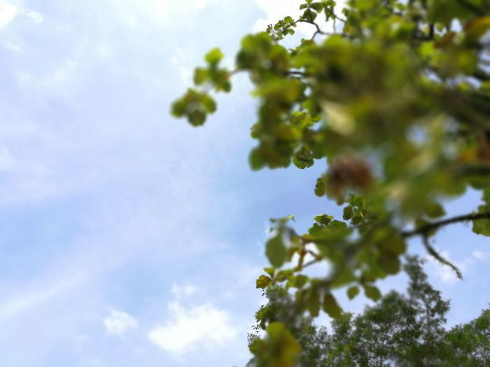 Blue Tree Nature Green Color Sky Low Angle View Branch Outdoors No People Beauty In Nature Leaf Day Blue Freshness Defocused Low Botany Nature Beauty In Nature Freshness Green Color Plant Growth Close Up Shot Framming