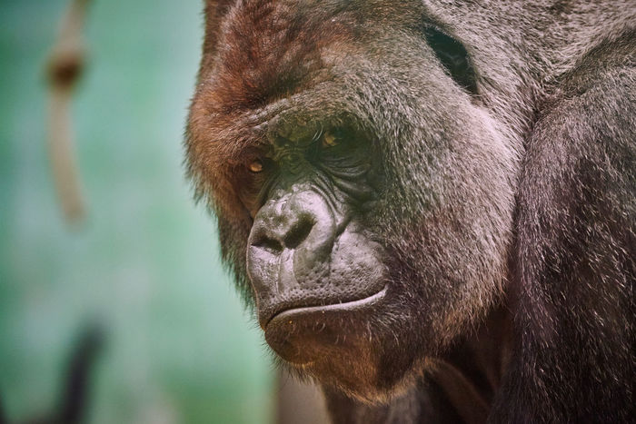 Gorillas are ground-dwelling, predominantly herbivorous apes that inhabit the forests of central Africa. Animal Themes Animal Wildlife Animals In The Wild Ape Close-up Day Gorilla Mammal Monkey Nature No People One Animal Outdoors Portrait Primate Silverback Gorilla