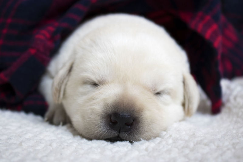 Baby Labrador Adorable Litter Puppies Sweet Food White Young Adult