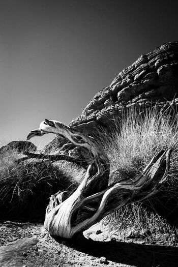Katatjuta Katatjutanationalpark Australian Landscape Australia Australia & Travel Outback Australia Outback Blackandwhite Black And White Blackandwhite Photography monochrome photography Fineart_photobw Fine Art Photography Tree Trunk Contrast Shadows & Lights Textures and Surfaces Beauty In Nature Fragility Nature Photography Low Angle View Tranquility Clear Sky Outdoors