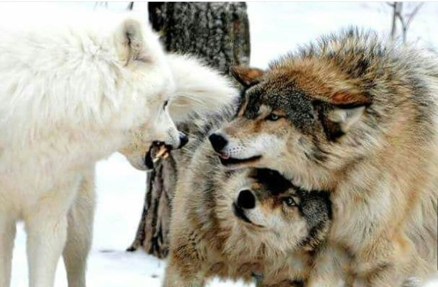Fantastic Earth Mothernature More Wolves White Wolves Beautiful Animals  Family First
