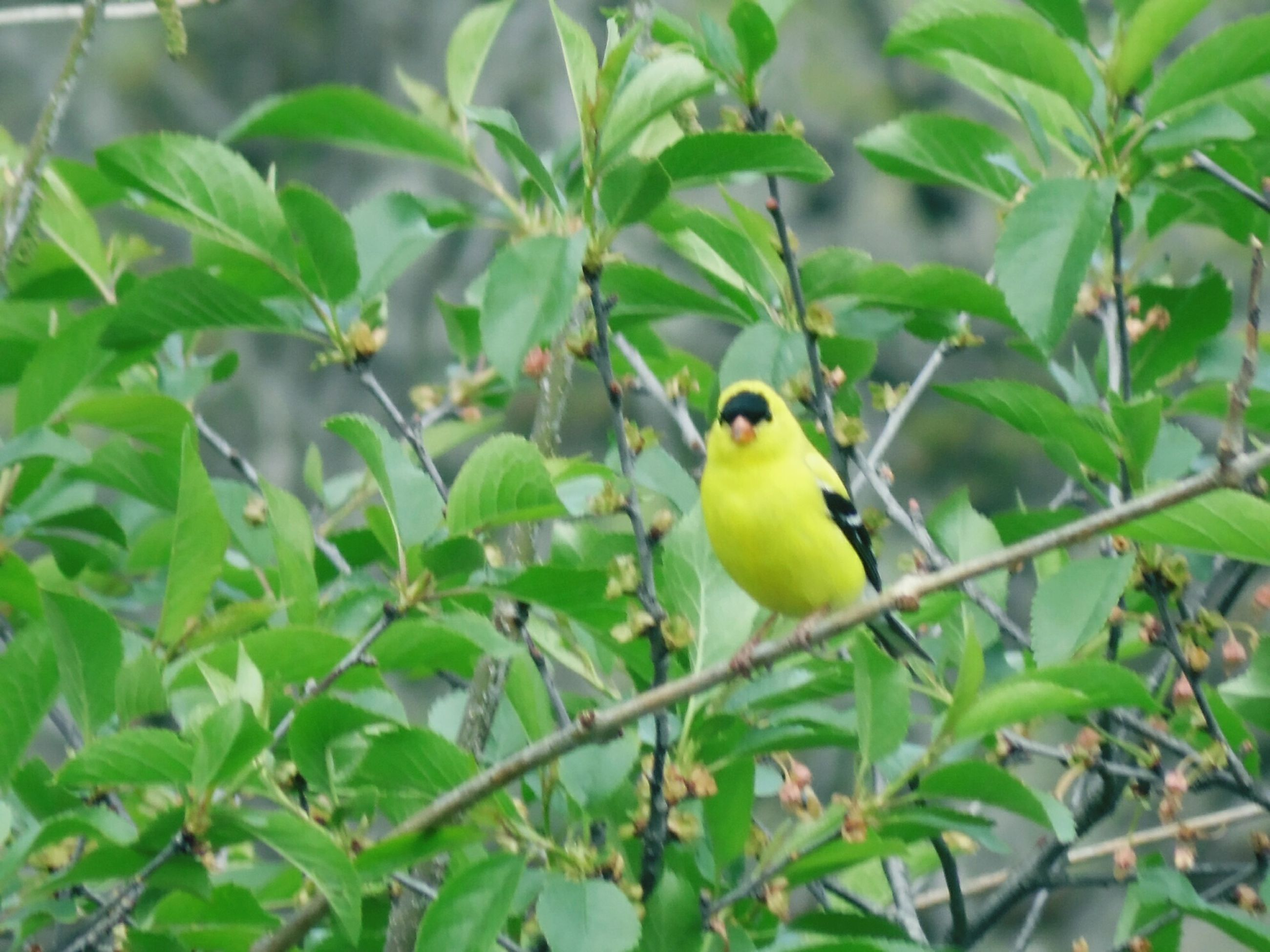bird, animal themes, animals in the wild, wildlife, one animal, branch, perching, tree, focus on foreground, green color, nature, leaf, close-up, yellow, day, growth, outdoors, low angle view, no people, parrot