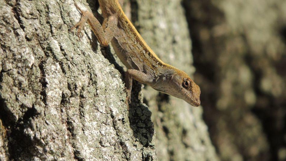 Lizard Lizard Watching Animal Themes Animal Wildlife Nature One Animal Tree Tree Trunk