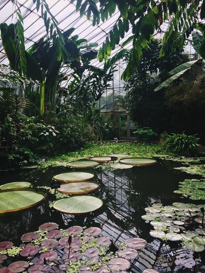 Pond Water Lily Nature Water Growth Plant Floating On Water Leaf Beauty In Nature Lily Pad Lotus Water Lily Day Tranquility No People Reflection Outdoors Tree Flower Freshness Greenhouse Edinburgh Botanical Gardens