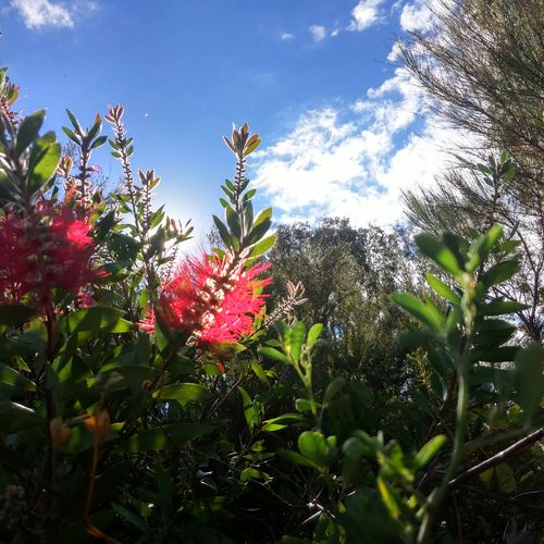 Callistermon(?) - an Australian native