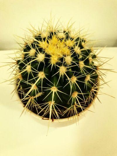 indoor cactus, kugelförmiger Kaktus mit gelber Blüte und gelben Stacheln - Kakteen. Dieser Kaktus benötigt wenig Wasser und wird vierzehntägig gegossen - da es sich um eine Raumpflanze handelt, habe ich ihn auf die Fensterbank gestellt, damit er viel Sonnenlicht erhält Cactus Collection Cactus Flower Yellow Color Yellow Green Color Green Green And Yellow  Grün Und Gelb Kugelkaktus Stacheln Dornen Raum Pflanze Raumpflanze Wenig Wasser Kaktus Indoors  Gottes Freund Und Aller Welt Feind ApoSKAlypse Close-up Cactus Land Succulent Plant No People Plant Thorn Day Spiked Sharp Barrel Cactus Growth