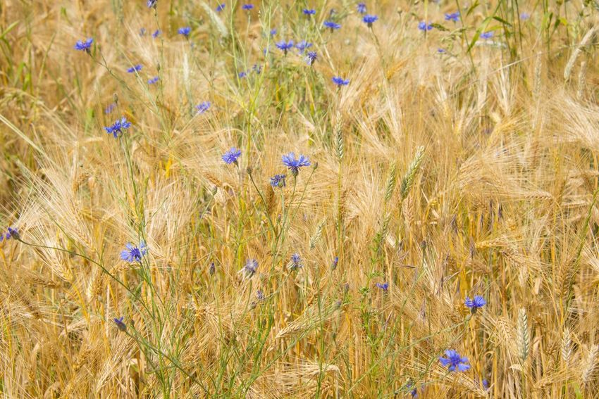 Agriculture Beauty In Nature Cereal Plant Close-up Crop  Day Field Flower Flower Head Fragility Freshness Grass Growth Kornblume Nature No People Outdoors Plant Rural Scene Wheat Yellow