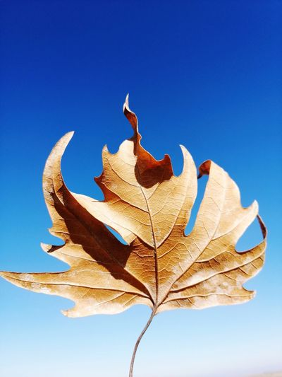 Low angle view of dried leaves against clear blue sky