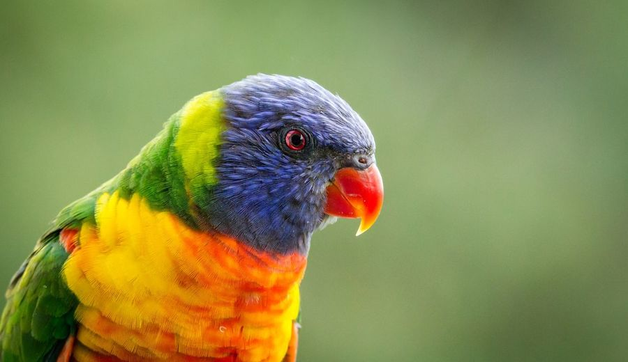 Close-up of lorikeet
