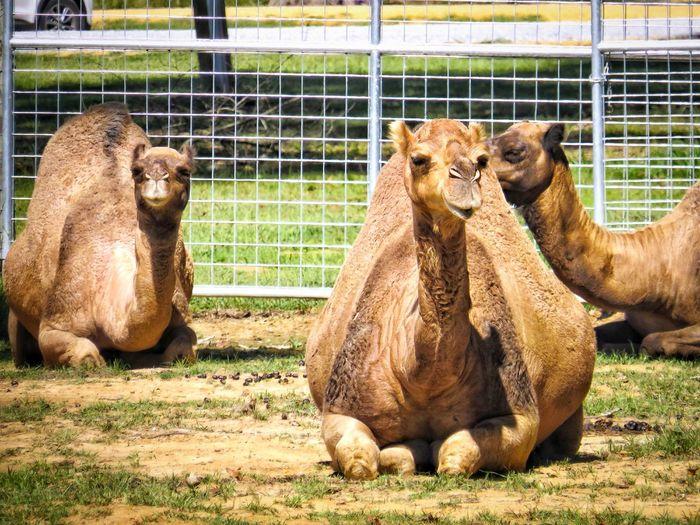 Adapted to the sun. EyeEm Nature Lover EyeEm Selects Animal Themes Herbivorous Camel Outdoors Field Animals In Captivity Captivity Medium Group Of Animals Three Animals Working Animal