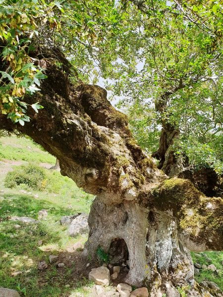 Acer monspessulanum Tree Close-up