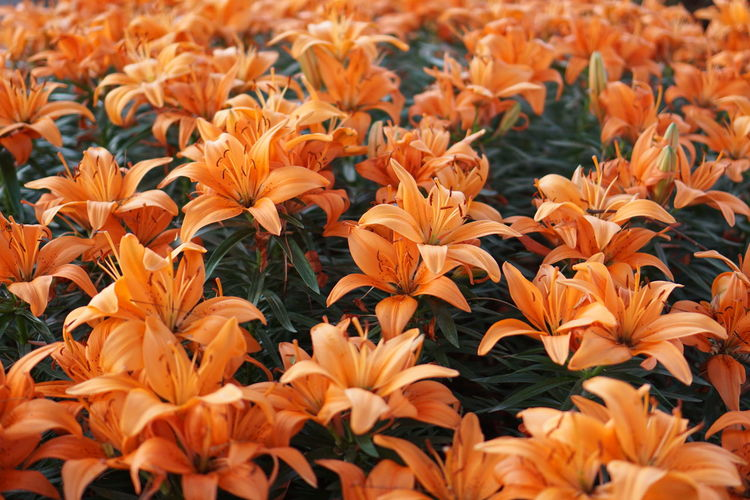 Orange flowers Beauty In Nature Blooming Close-up Day Flower Flower Head Fragility Freshness Growth Lilies Lilies In Bloom Nature No People Orange Flower Outdoors Petal