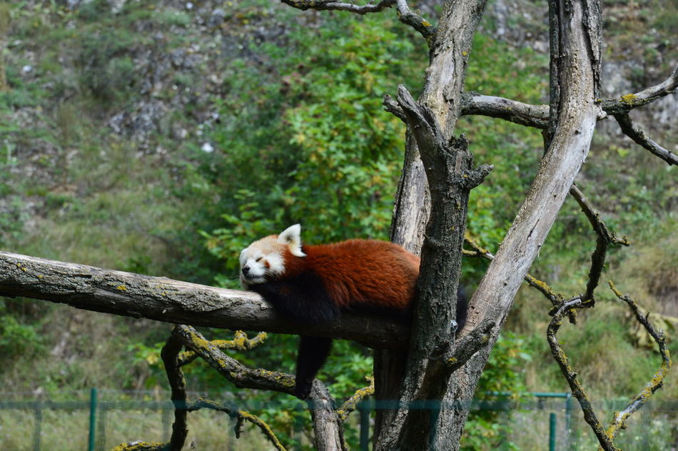From My Point Of View From Where I Stand Little Panda Bears ^.^ Red Panda Zoophotography Zoo Animals  Ailurus Fulgens