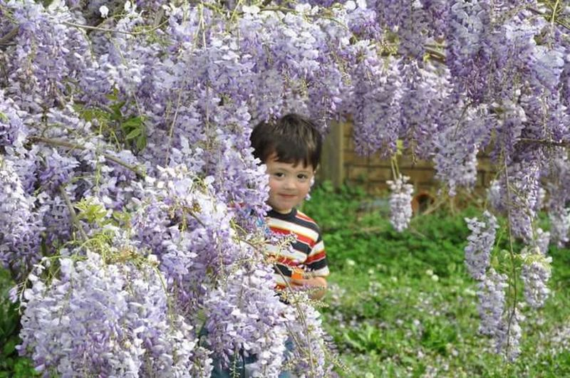 Hiding wisteria Childhood Flower Innocence Fragility Cute Freshness Springtime Nature Beauty In Nature In Bloom Day Leisure Activity Beauty In Nature Botany hiding Bunch Of Flowers Purple Softness Blooming Innocence Togetherness boy