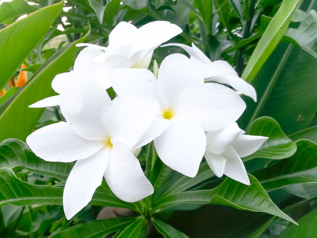 White Polynesian Plant Flower Head Growth White Color Nature Flower Leaf Close-up Beauty In Nature Fragility Freshness No People Outdoors Day