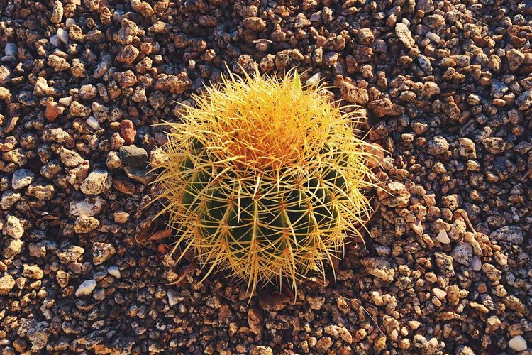 Cactus Nature Outdoors No People Day Cactus Desert Rocks Garden Baby Succulent Plant Pointy Sharp Plant