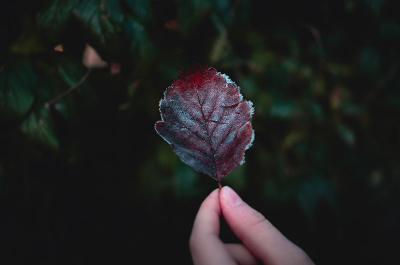 Cropped Hand Holding Leaf During Winter