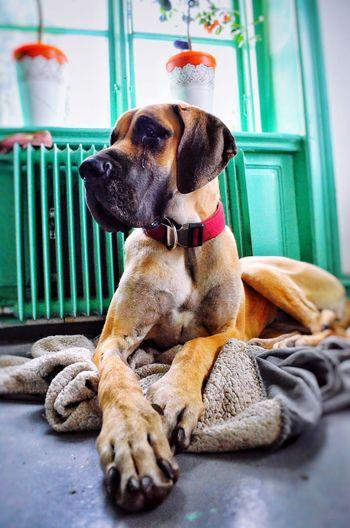 Great Dane❤ Dog Portrait Big Paws Relaxing Enjoying Life June 2016 Beautiful Animal Cute Pets Turquoise Oranges Great Dane Grand Danois Fawndane Fawn LookingCute  Loving My Dog Showcase June