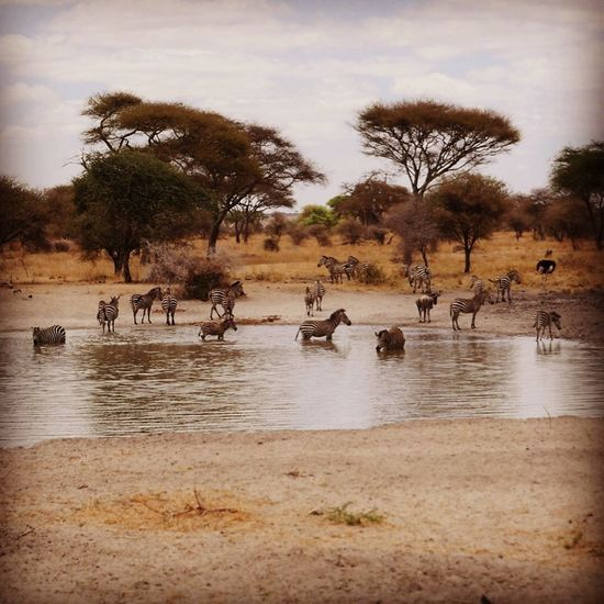 Parc de Tarangire Tarangire National Park Zèbre Gnou Tout Est Perdu Sauf Le Bonheur Toutou Sans Forcer