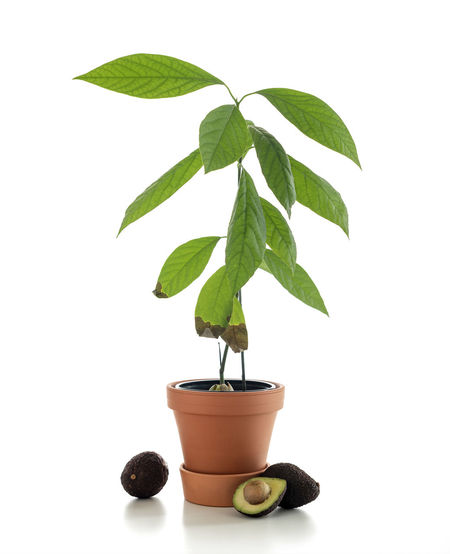Avocado Leaf Plant Part Green Color Studio Shot Plant Potted Plant Indoors  White Background Growth Nature No People Freshness Close-up Houseplant Beauty In Nature Still Life Botany Cut Out Herb Flower Pot Leaves Gardening Avocado