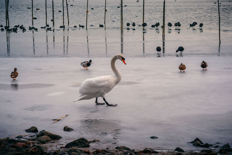 Swan patrolling on frozen lake Animal Themes Animal Wildlife Animals In The Wild Beach Bird Day Ducks Ice Nature No People Outdoors Swan Swans Wading Water Winter