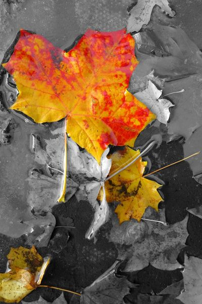 After Rain Autumn Autumn Leaves Beauty In Nature Beauty Of Decay Close-up Colour And Black And White Day Leaf Multi Colored Nature No People Outdoors Red Color Vivid Colours  Water Yellow Yellow Color