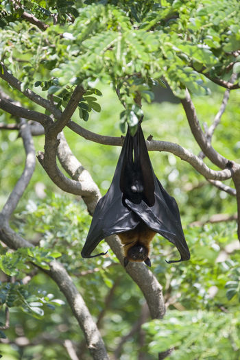 Foxbats in Thailand ASIA Bat Thailand Animal Themes Animal Wildlife Animals In The Wild Bat - Animal Branch Cape  Day Focus On Foreground Fox Fox Bat Foxbat Green Color Low Angle View Mammal Nature No People One Animal Outdoors Spread Wings Tree